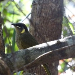 Meliphaga lewinii (Lewin's Honeyeater) at Mogo State Forest - 11 Oct 2017 by roymcd