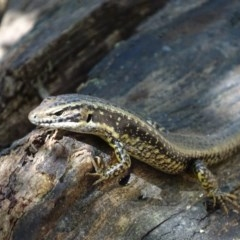 Eulamprus heatwolei (Yellow-bellied Water-skink) at Mogo State Forest - 11 Oct 2017 by roymcd