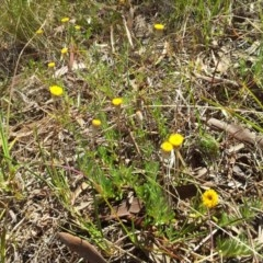 Leptorhynchos squamatus (Scaly Buttons) at Little Taylor Grasslands - 16 Oct 2017 by RosemaryRoth