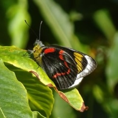 Delias nigrina (Black Jezebel) at Mogo State Forest - 12 Oct 2017 by roymcd