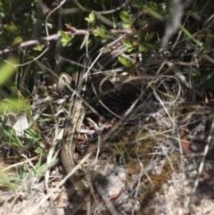 Ctenotus robustus (Robust Striped-skink) at Duffy, ACT - 15 Oct 2017 by HarveyPerkins