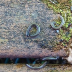Ommatoiulus moreleti (Portuguese Millipede) at Flynn, ACT - 11 Oct 2017 by Christine