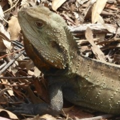 Intellagama lesueurii (Eastern Water Dragon) at ANBG - 14 Oct 2017 by Christine