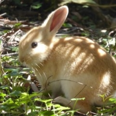 Oryctolagus cuniculus (European Rabbit) at ANBG - 14 Oct 2017 by Christine