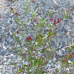 Dodonaea viscosa (Hop Bush) at Hughes Garran Woodland - 14 Oct 2017 by ruthkerruish