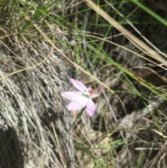 Caladenia sp. at Tidbinbilla Nature Reserve - 15 Oct 2017 by W