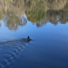 Biziura lobata (Musk Duck) at Tidbinbilla Nature Reserve - 15 Oct 2017 by W