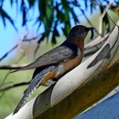 Cacomantis flabelliformis at Brogo, NSW - 17 Oct 2017
