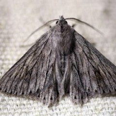 Cyneoterpna wilsoni (Wilson's Grey) at O'Connor, ACT - 16 Oct 2017 by ibaird