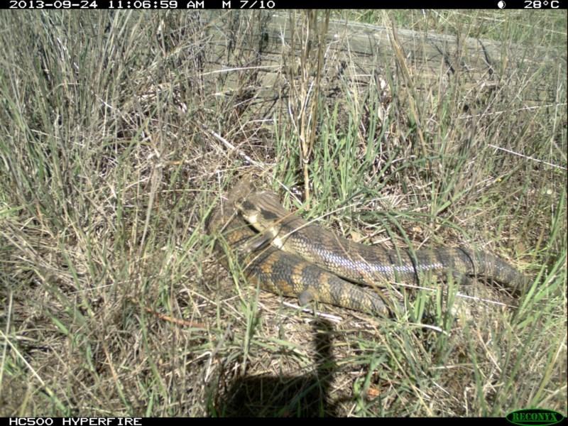 Tiliqua scincoides at Michelago, NSW - 24 Sep 2013