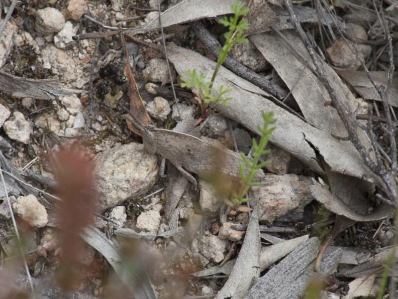 Goniaea australasiae at Illilanga & Baroona - 24 Oct 2010