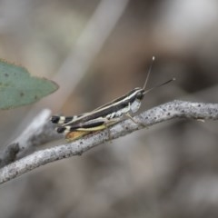 Macrotona australis (Common Macrotona Grasshopper) at Illilanga & Baroona - 15 Feb 2015 by Illilanga