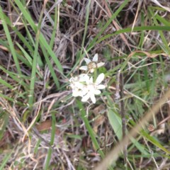 Wurmbea dioica subsp. dioica (Early Nancy) at Royalla, ACT - 18 Oct 2017 by GeoffRobertson