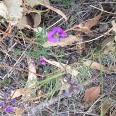 Swainsona recta (Small purple pea) at Royalla, ACT - 18 Oct 2017 by GeoffRobertson