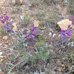 Swainsona recta (Small purple pea) at Williamsdale, ACT - 18 Oct 2017 by GeoffRobertson