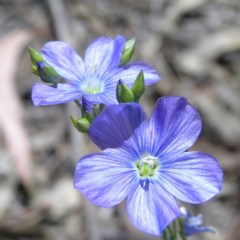 Linum marginale (Native Flax) at Mount Taylor - 18 Oct 2017 by MatthewFrawley