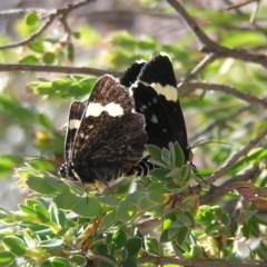Idalima affinis (A day flying moth) at Kambah, ACT - 18 Oct 2017 by MatthewFrawley