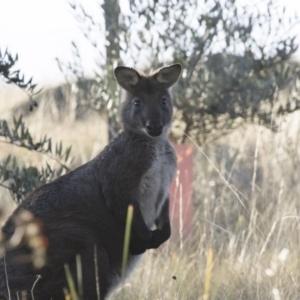 Macropus robustus at Illilanga & Baroona - 8 Jun 2015
