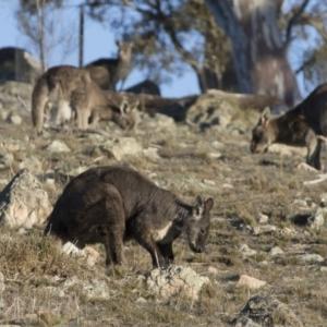 Macropus robustus at Illilanga & Baroona - 31 Aug 2017