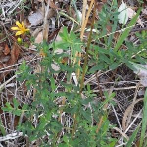 Hypericum perforatum at Hughes Garran Woodland - 11 Dec 2011