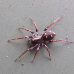 Zodariidae sp. (family) (Unidentified Ant spider or Spotted ground spider) at Flynn, ACT - 19 Oct 2017 by Christine
