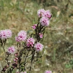 Kunzea parvifolia (Violet kunzea) at Mount Mugga Mugga - 21 Oct 2017 by Mike