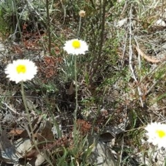 Leucochrysum albicans subsp. tricolor (Hoary Sunray) at Mount Mugga Mugga - 21 Oct 2017 by Mike