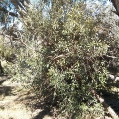 Olea europaea subsp. cuspidata (African Olive) at Mount Ainslie - 21 Oct 2017 by WalterEgo