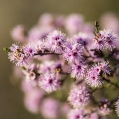 Kunzea parvifolia (Violet kunzea) at Black Mountain - 21 Oct 2017 by GlenRyan