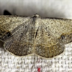Taxeotis intextata (Looper Moth, Grey Taxeotis) at O'Connor, ACT - 18 Oct 2017 by ibaird