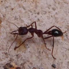 Myrmecia sp. (genus) (Bull ant or Jack Jumper) at Farringdon, NSW - 20 Oct 2017 by Christine