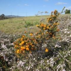 Dillwynia sp. Yetholme (P.C.Jobson 5080) NSW Herbarium at Percival Hill - 22 Oct 2017 by gavinlongmuir