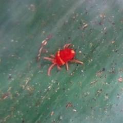 Trombidiidae sp. (family) (Red velvet mite) at Farringdon, NSW - 20 Oct 2017 by Christine