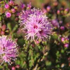Kunzea parvifolia (Violet kunzea) at Percival Hill - 15 Oct 2017 by gavinlongmuir