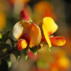 Pultenaea procumbens (Bush Pea) at Percival Hill - 15 Oct 2017 by gavinlongmuir