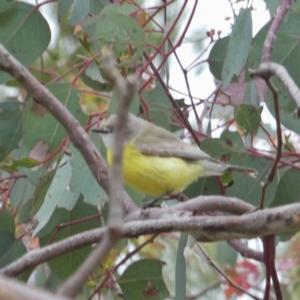 Gerygone olivacea at Wandiyali-Environa Conservation Area - 22 Oct 2017