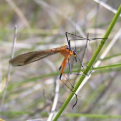Harpobittacus australis (Hangingfly) at Mount Taylor - 22 Oct 2017 by MatthewFrawley
