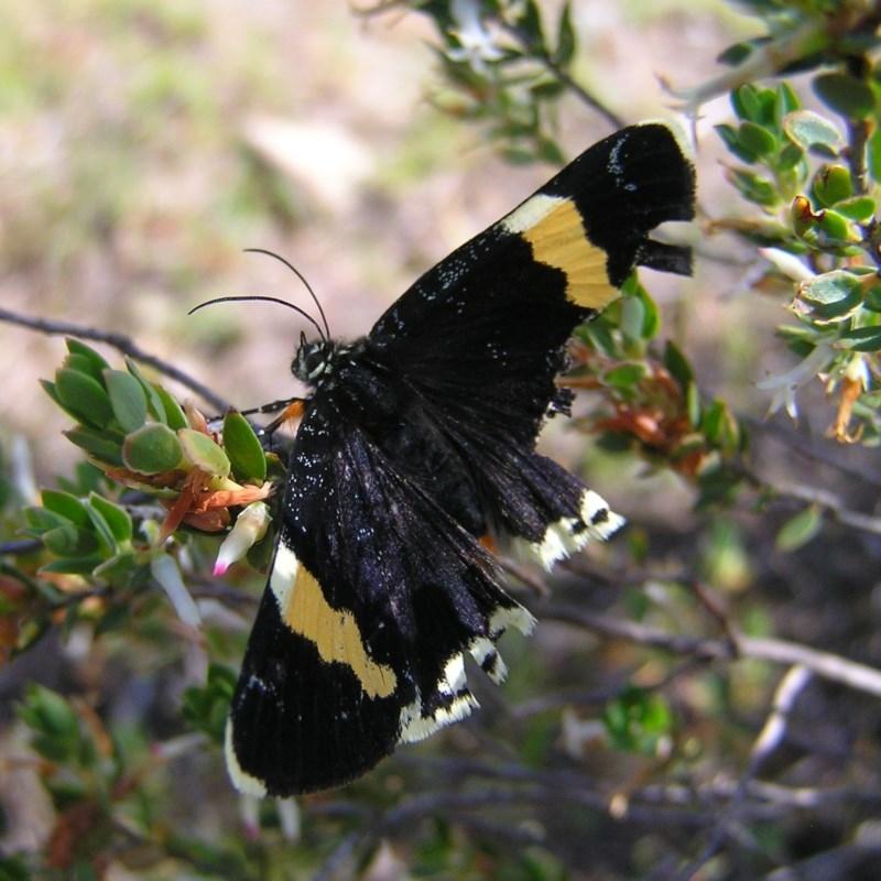 Eutrichopidia latinus at Mount Taylor - 22 Oct 2017