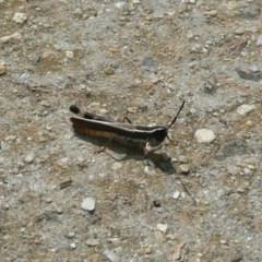 Macrotona australis (Common Macrotona Grasshopper) at Umbagong District Park - 15 Mar 2011 by Christine