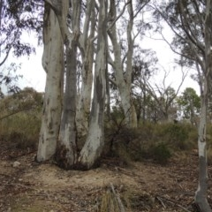 Eucalyptus rossii (Inland Scribbly Gum) at Tuggeranong Hill - 19 Oct 2017 by michaelb