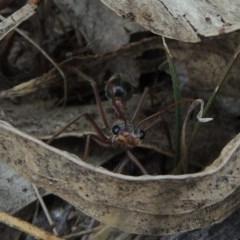 Myrmecia nigriceps (Black-headed bull ant) at Tuggeranong Hill - 19 Oct 2017 by michaelb
