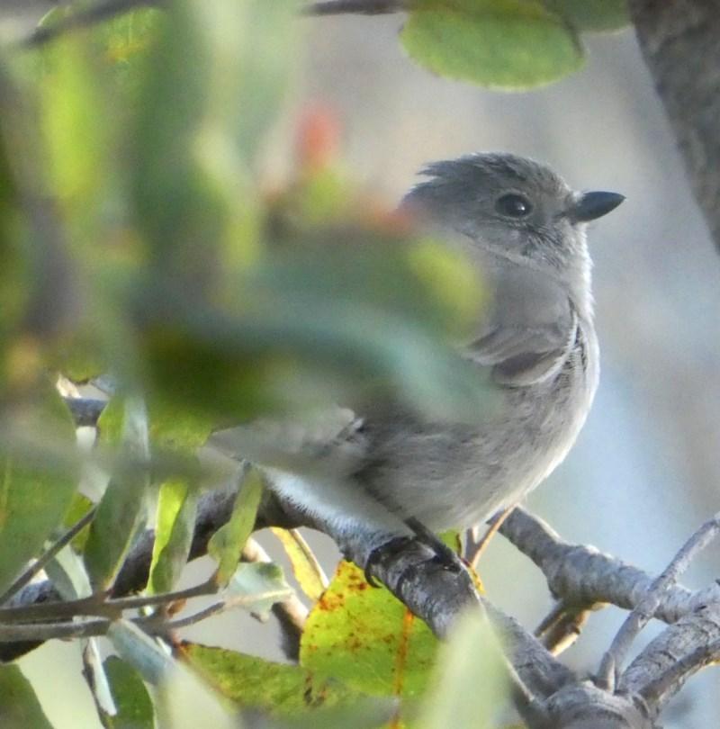 Pachycephala pectoralis at Wandiyali-Environa Conservation Area - 24 Oct 2017