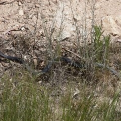 Pseudechis porphyriacus (Red-bellied Black Snake) at Illilanga & Baroona - 5 Nov 2011 by Illilanga