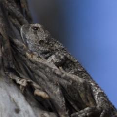 Amphibolurus muricatus at Michelago, NSW - 22 Sep 2012