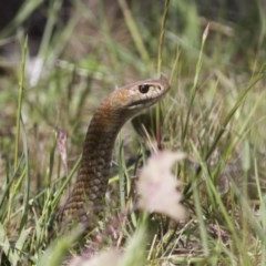 Pseudonaja textilis (Eastern Brown Snake) at Illilanga & Baroona - 21 Oct 2012 by Illilanga