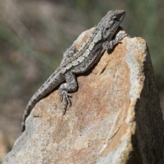 Amphibolurus muricatus (Jacky Dragon) at Illilanga & Baroona - 21 Oct 2012 by Illilanga