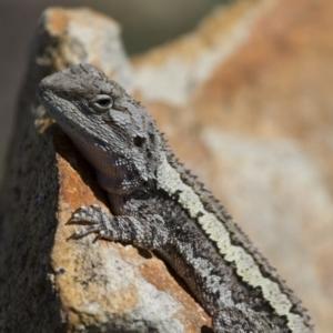 Amphibolurus muricatus at Michelago, NSW - 21 Oct 2012
