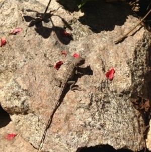 Amphibolurus muricatus at Illilanga & Baroona - 2 Apr 2014