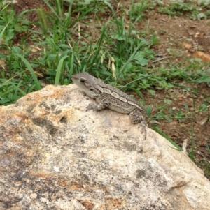 Amphibolurus muricatus at Illilanga & Baroona - 25 Dec 2014