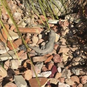 Amphibolurus muricatus at Illilanga & Baroona - 11 Sep 2016